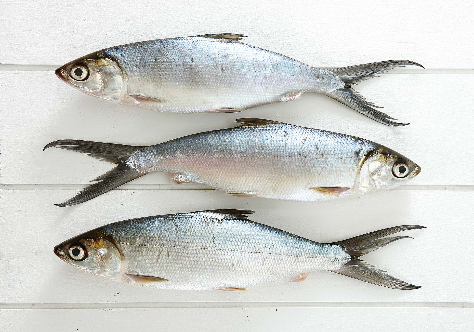 bangus on white background